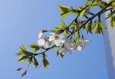 sak0041-024 葉桜.jpg